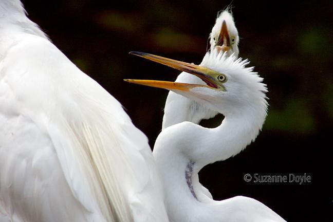 egret begging 2-72©.jpg