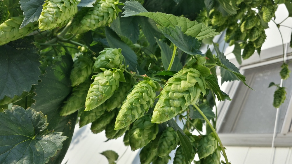 Hops growing in our garden.