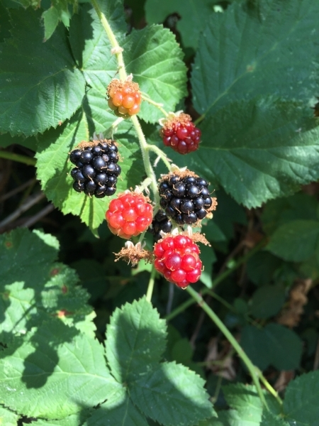 seattle blackberries