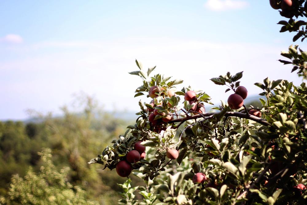 apple4.jpg