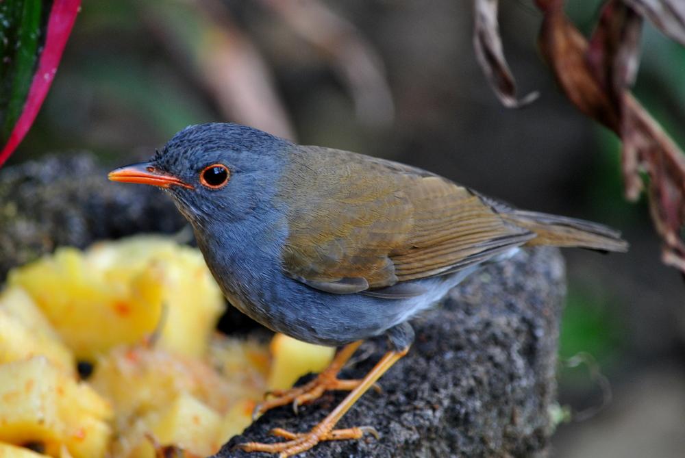 Slaty-backed Nightingale-Thrush (Catharus fuscater)