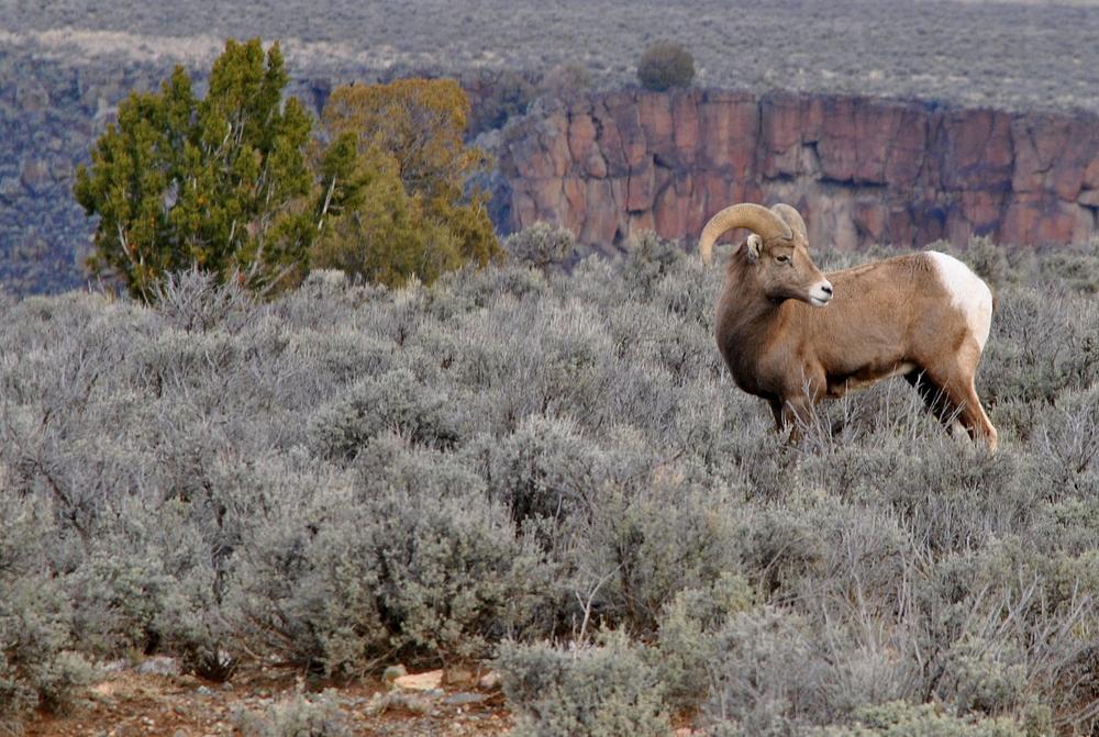 Rocky Mountain Big Horn Sheep. Taos County, New Mexico