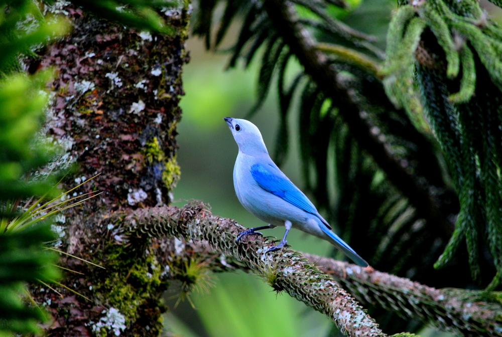 Blue-grey Tanager (Thraupis episcopus)