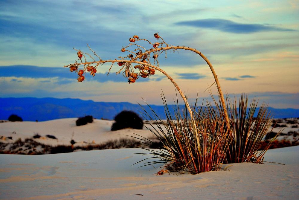 white sands yucca.jpg