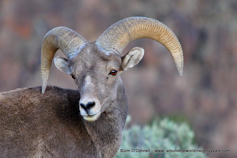 Rocky Mountain BigHorn Sheep, Taos, New Mexico