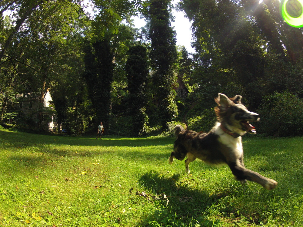 Asheville Frisbee dog.