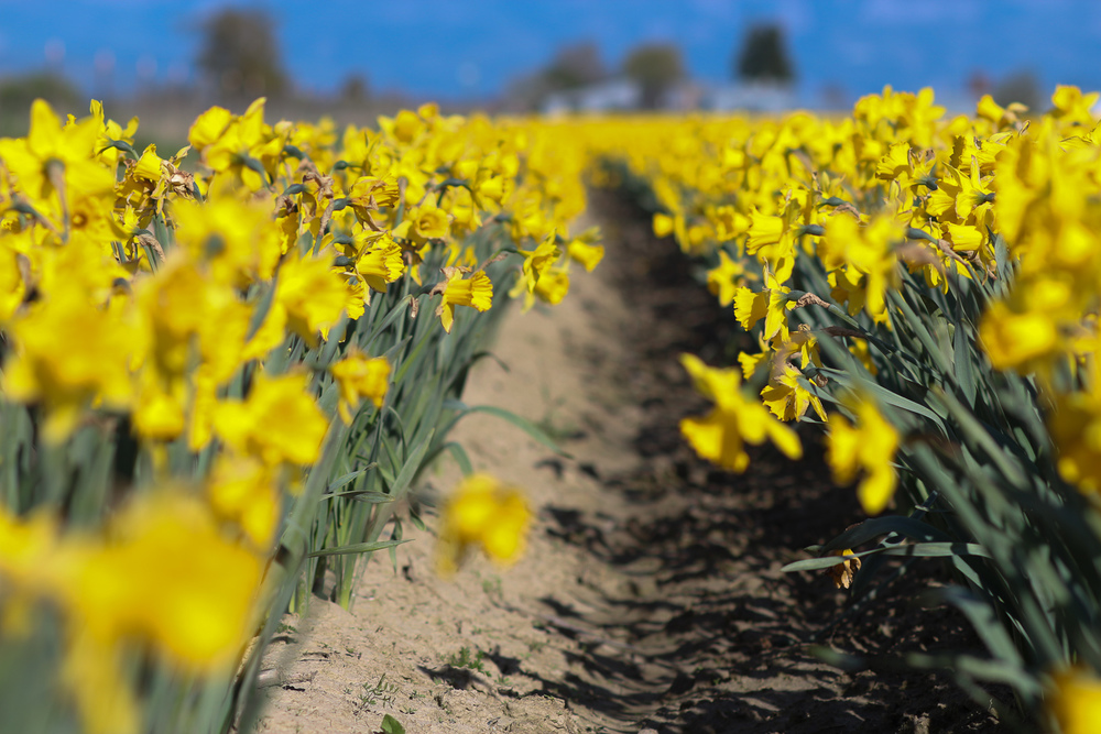 Washington_Daffodils_3.jpg