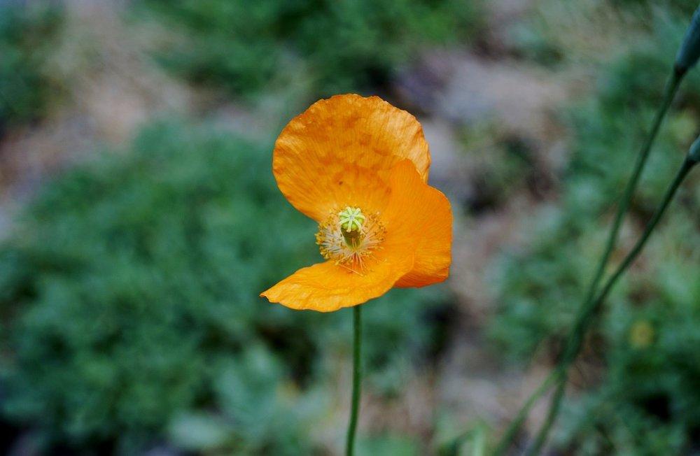 FLAG-flower-765921_1280.jpg