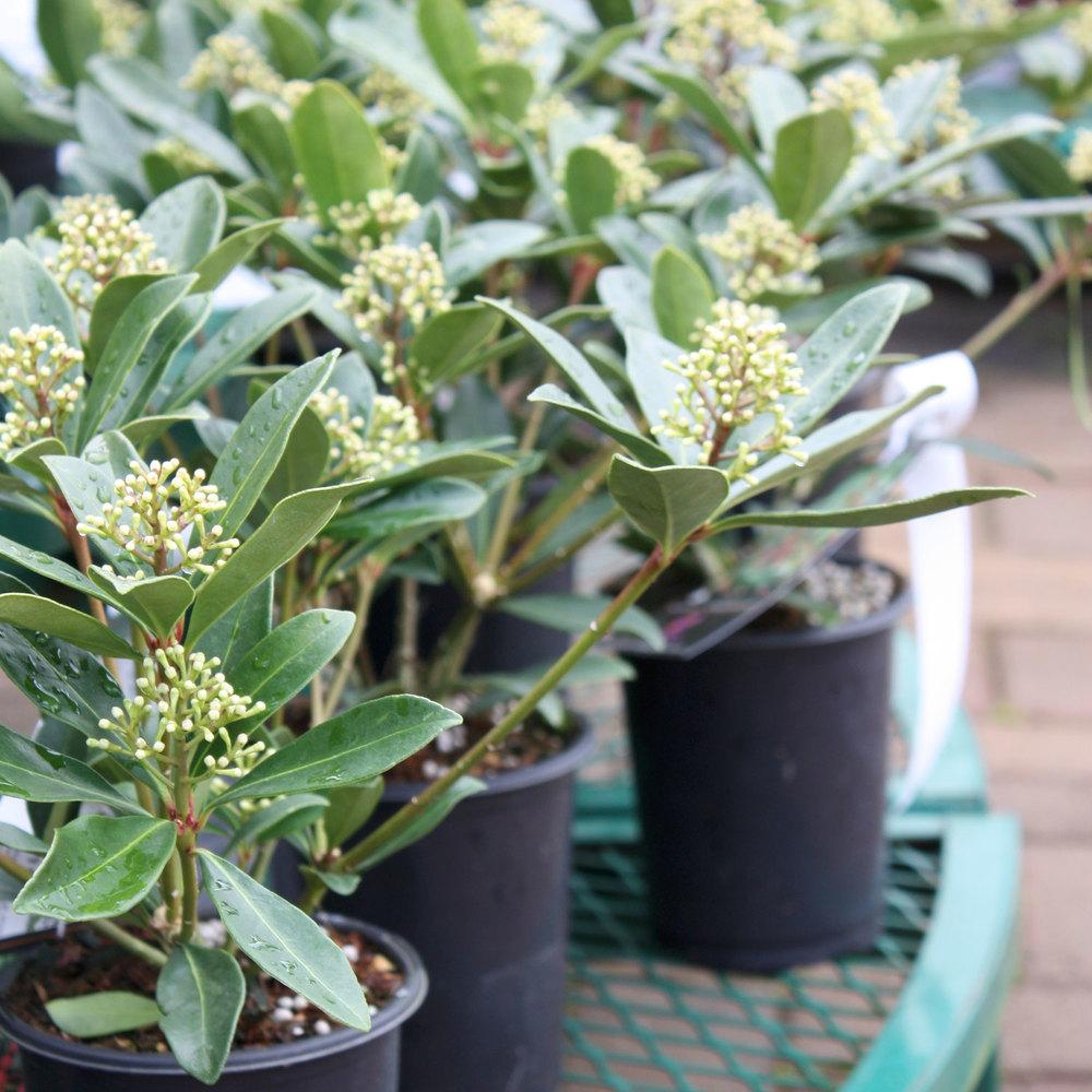 Skimmia Plants