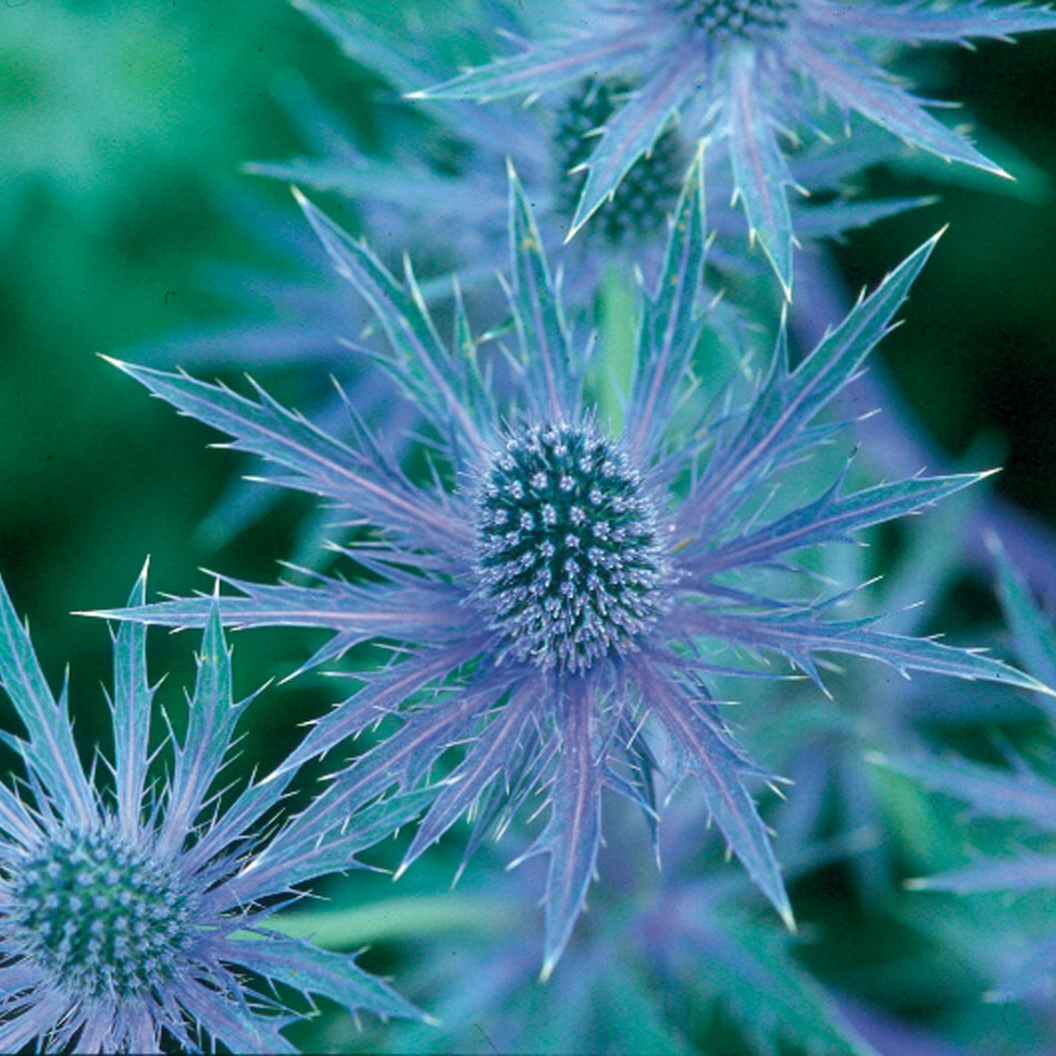 eryngium-sapphire-blue.jpg
