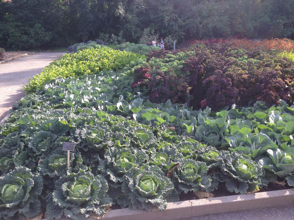 Cabbage & Kale Garden