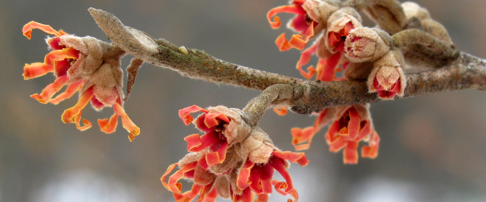 MA-witchhazel-winter.jpg