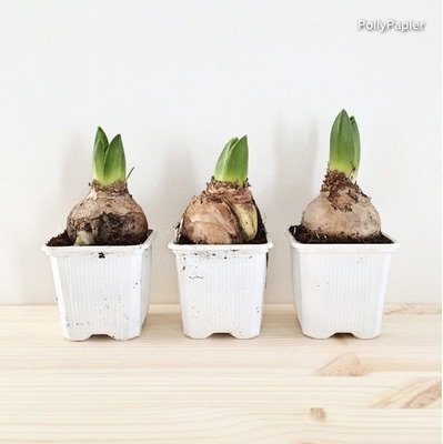 I chose three hyacinth bulbs for their future white blooms and their similar size.