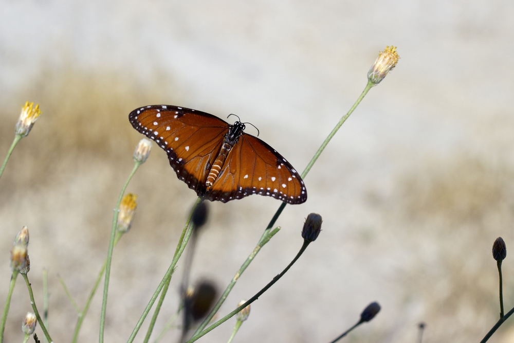 """Anza-Borrego Monarch"""