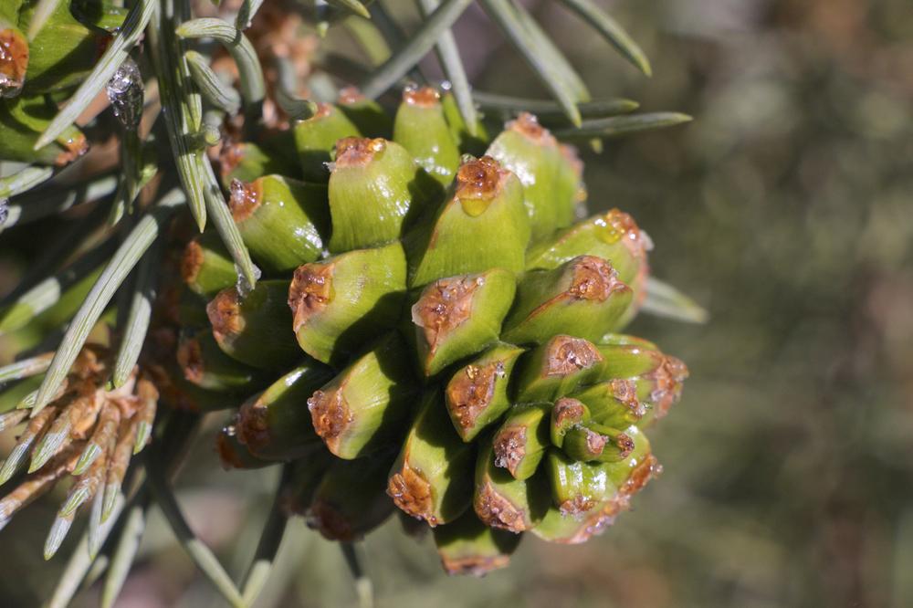 """""""Ancient Bristlecone Pine Cone #2"""""""