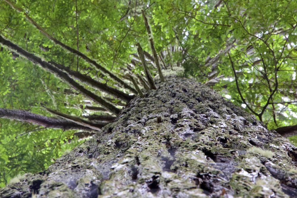 """""""Redwood Zenith"""""""