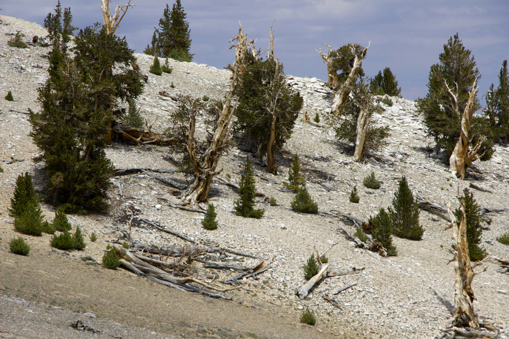 """Ancient Bristlecone Pine Forest"""
