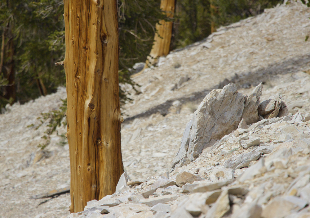 """Ancient Bristlecone Pine Slope"""