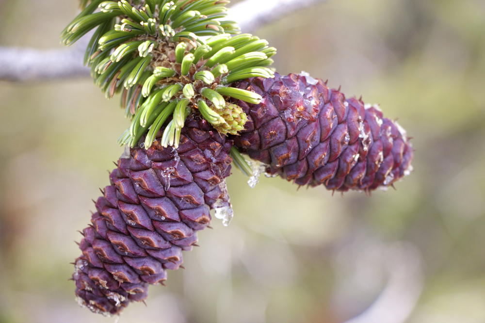 """""""Pine Cone Pair"""""""