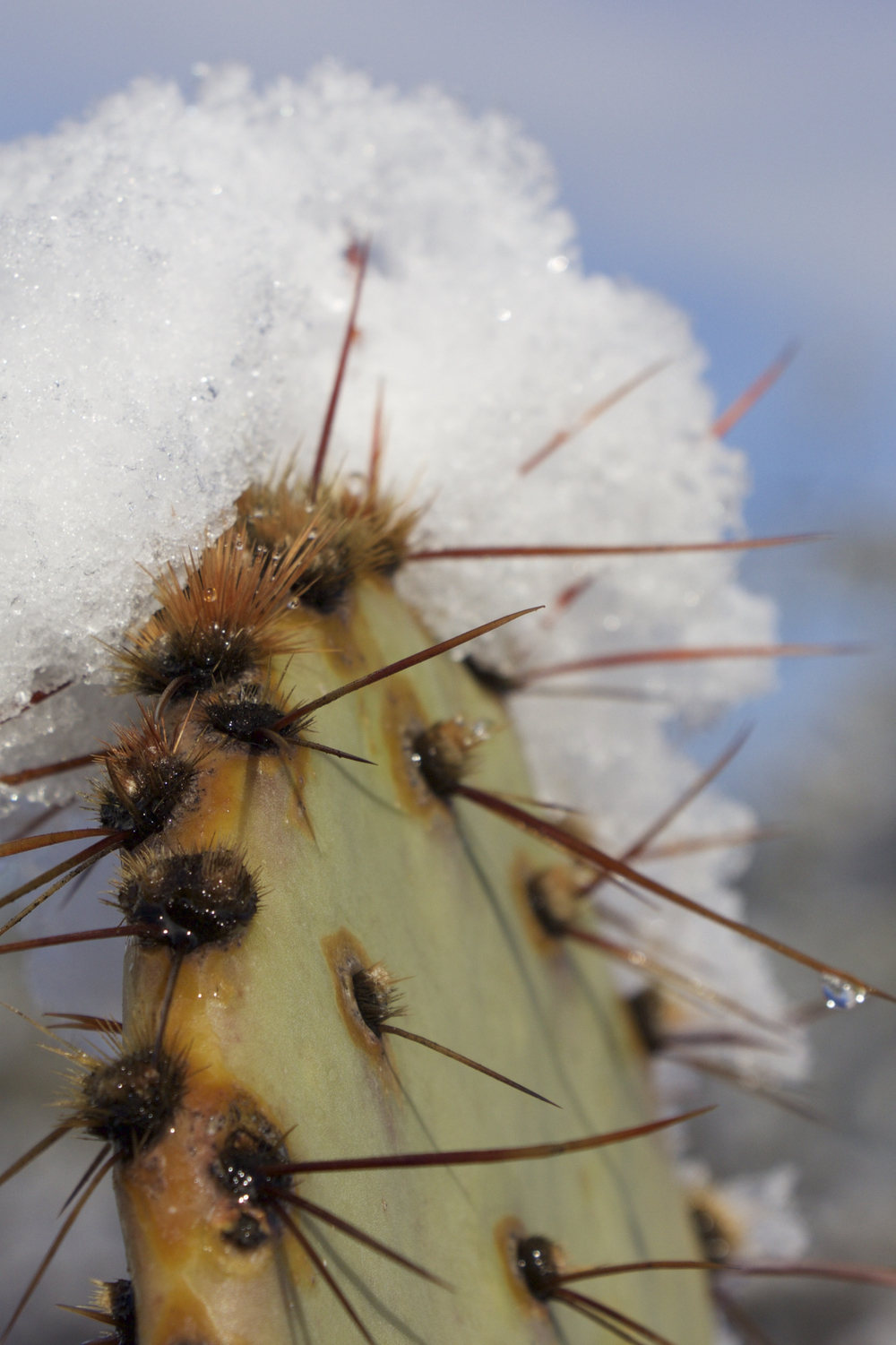 """Crest of Snow on a Prickly Pear Cactus #3"""