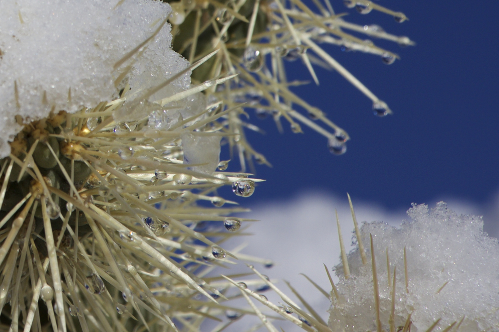 """Morning Snow on Cactus Spines #1"""
