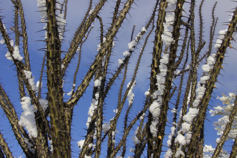 """Snowy Ocotillo Sky"""