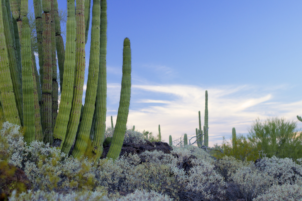 Organ Pipe Cactus Sunset.jpg