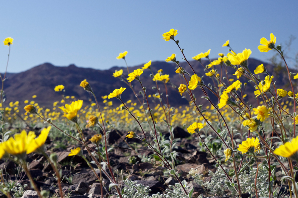 """Desert Sunflower Afternoon #1"""