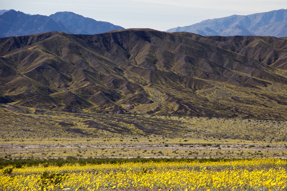 """Desert Sunflower Streams"""
