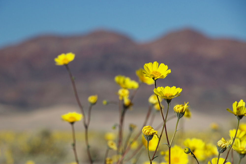 """Ibex Dunes and Desert Sunflowers"""