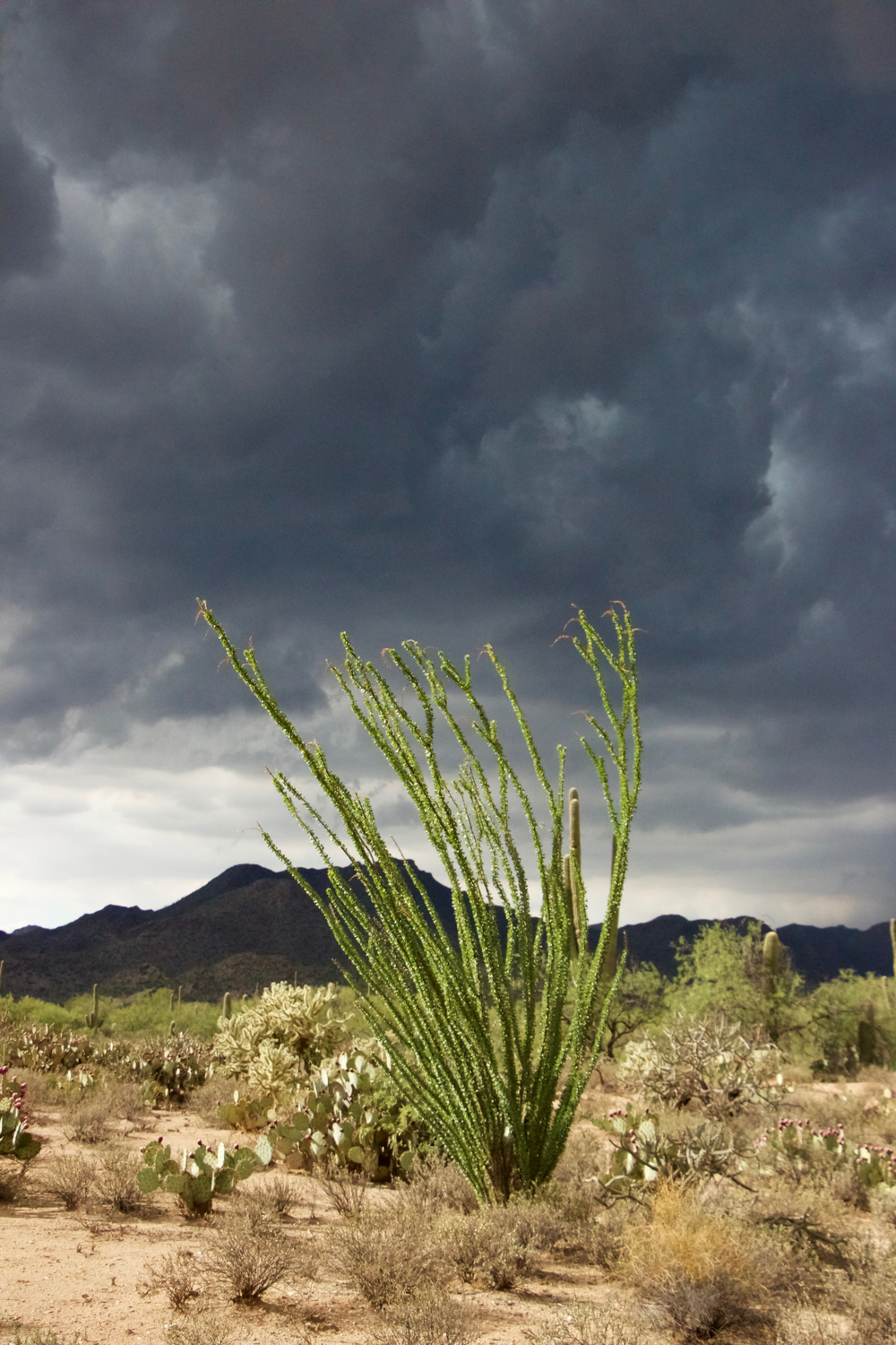 """Monsoon Ocotillo"""