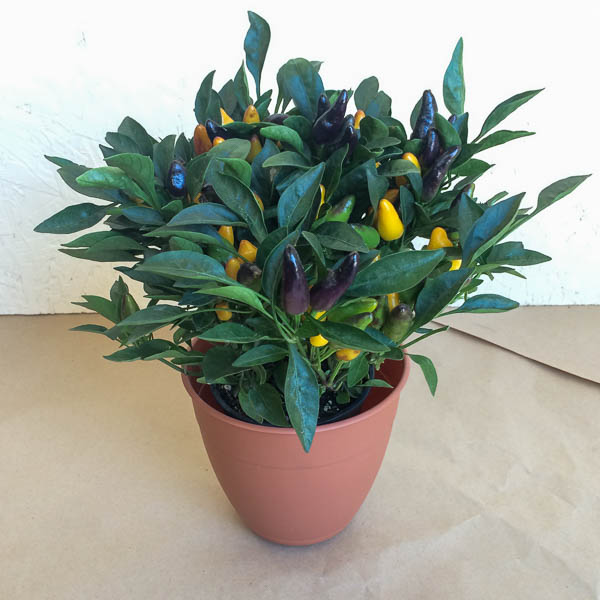 "4"" Ornamental Peppers"
