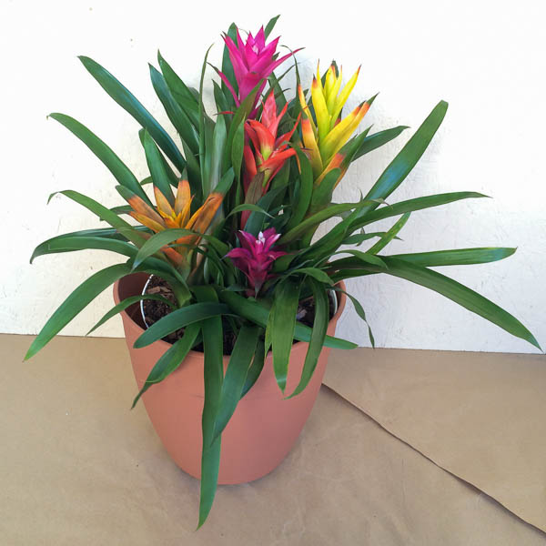 "10"" Bromeliad Combo-5ppp"
