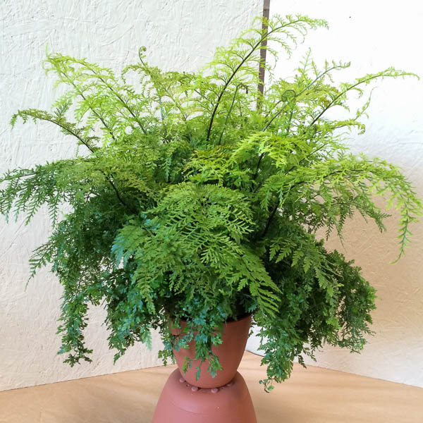 "8"" Mother Fern"