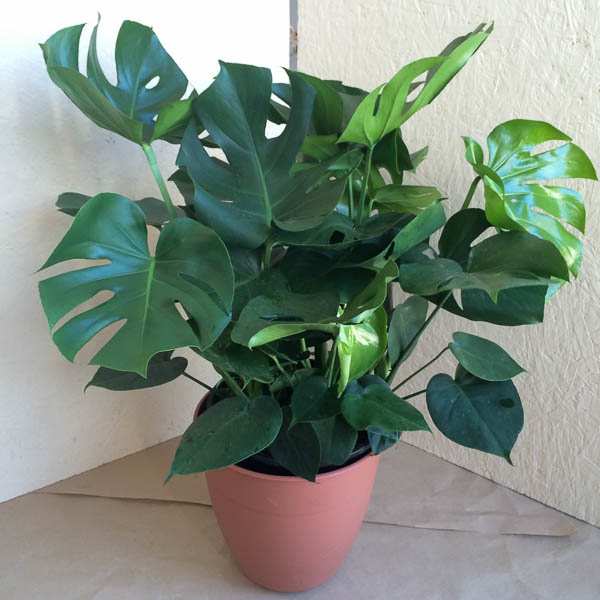 "8"" Philodendron Splitleaf"