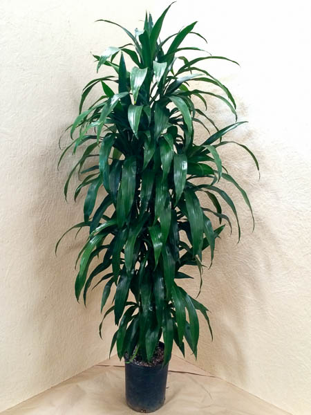 5g Dracaena Lisa cut-back Hawaiian-grown