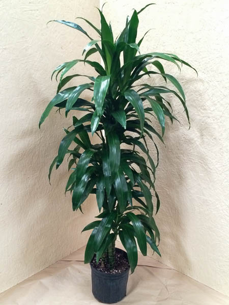 "10"" Dracaena Lisa 5' Hawaiian-grown"