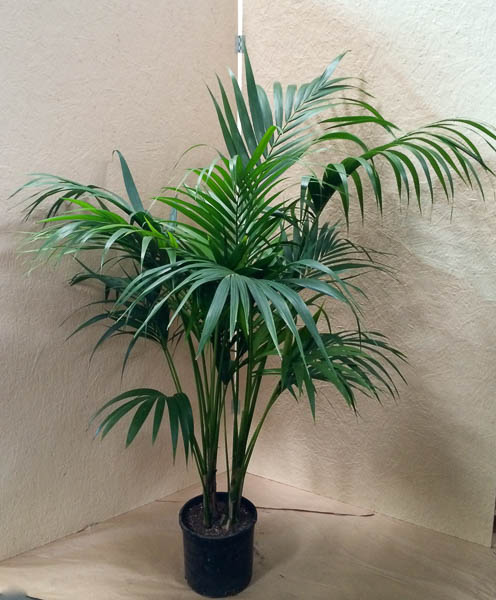 "12"" Kentia CA-grown"