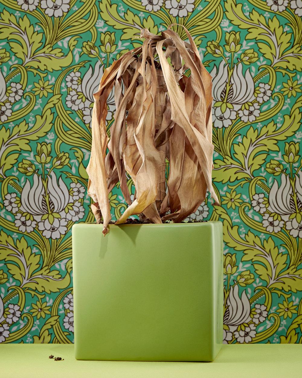 Dracaena (Corn Plant)