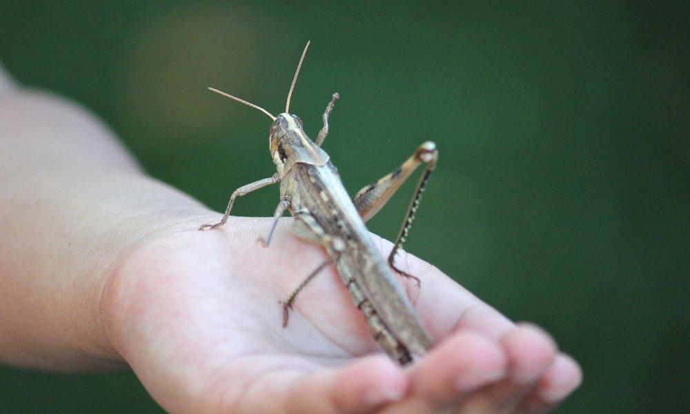grasshopper-78487_1920.jpg