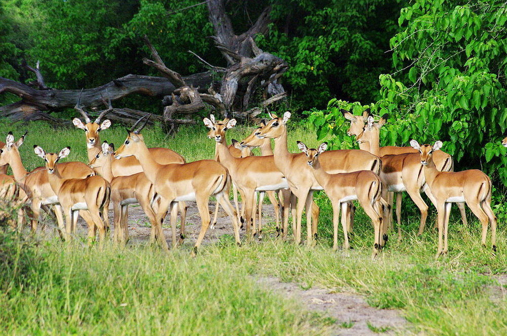 An impala herd in Chobe National Park. Photo credit: Bgabel at wikivoyage shared [GFDL or CC BY-SA 3.0], via Wikimedia Commons