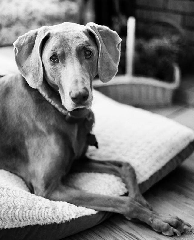 This girl is just the best. 💕 #puppylove #bestdogever • • • #weimaraner #weimaranerlove #weim #weimaraners #bestfriends #mygirl #girlsbestfriend #blackandwhite #canon #canon5dmarkiv #dogmom #doggielove #puppygram #🐶