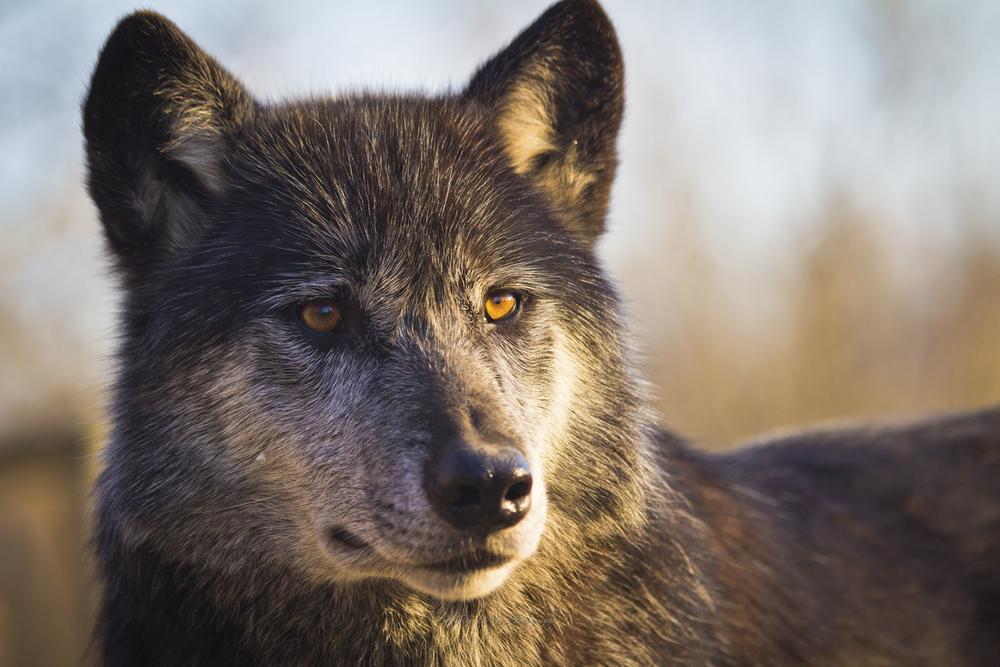 Wolf-1.jpg