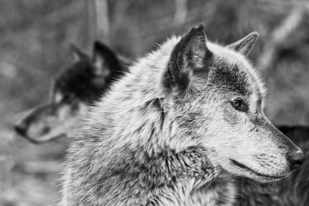 Wolf-4.jpg