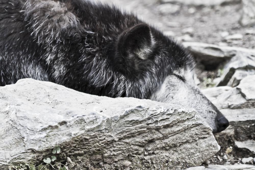 Wolf-9.jpg