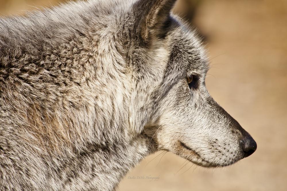 Wolf-12.jpg