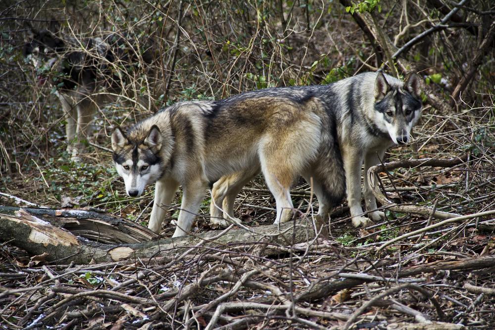 Wolf-13.jpg