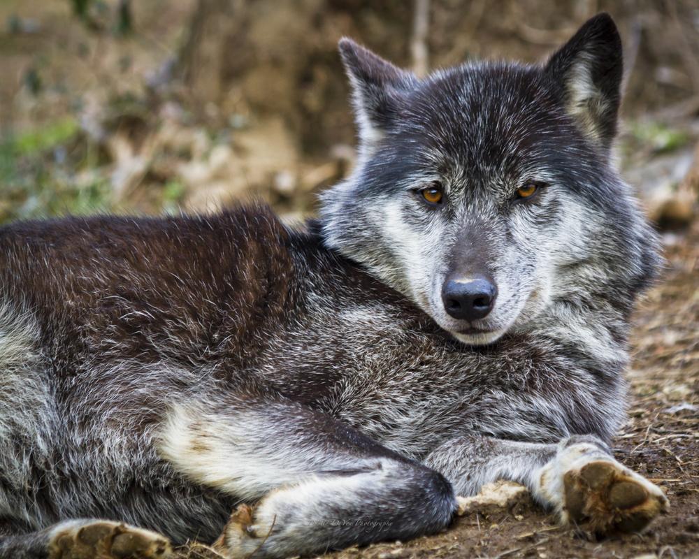 Wolf-21.jpg