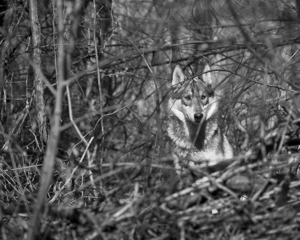 Wolf-22.jpg