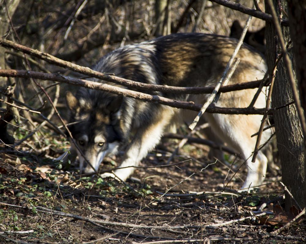 Wolf-23.jpg